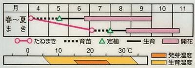 百日草 ダリア咲きカナリーバード(2.5ml) 〜花のタネ〜
