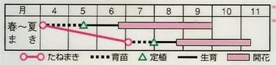 百日草 ポンポン咲混合(2.5ml) 〜花のタネ〜