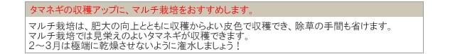 赤タマネギ苗【早生タマネギ】
