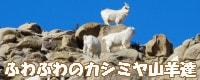 ふわふわのカシミヤ山羊達