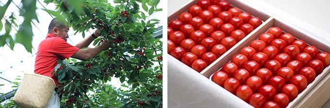 年間3万人が訪れる、山形県内最大級の観光果樹園「王将果樹園」