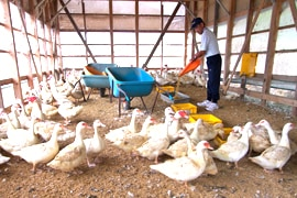 秋田県フランス鴨 鶏舎