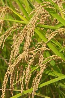 特別栽培米「天神こまち」とは