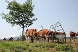 愛すべきジャージー牛