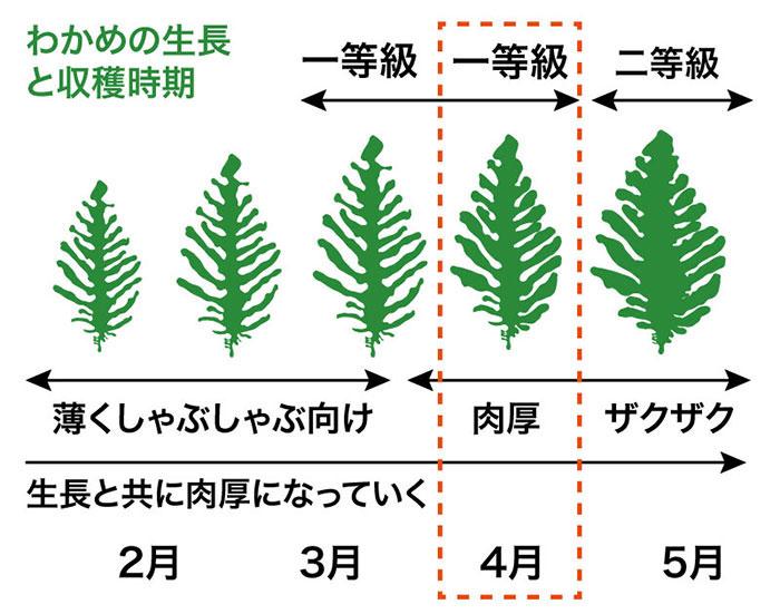 わかめの生長と収穫時期