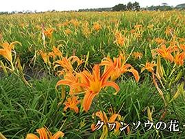 クヮンソウの花