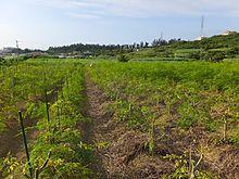 モリンガの畑1