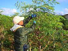 モリンガ収穫