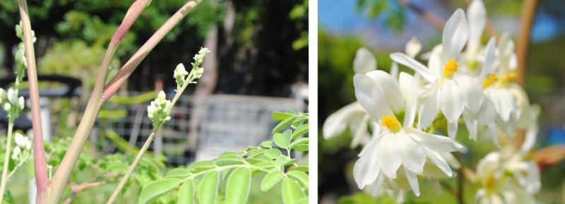 モリンガの蕾(つぼみ)と花
