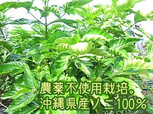 農薬不使用栽培のノニ