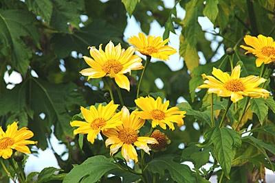 ニトベギクの花