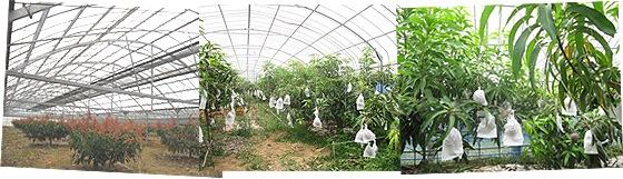 アップルマンゴー畑
