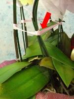 胡蝶蘭の梱包開封の手順:ステップ4