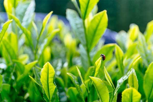 うきはの山茶 茶畑1