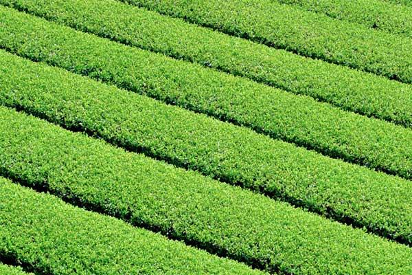 うきはの山茶 茶畑2