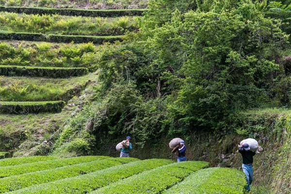 うきはの山茶 茶畑3