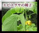 エビスグサの種子