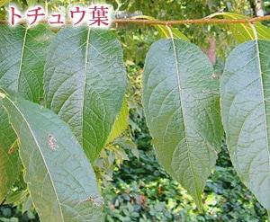 トチュウ葉