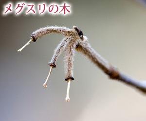 メグスリの木