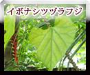 イボナシツヅラフジ