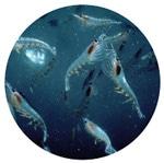 南極オキアミのイメージ