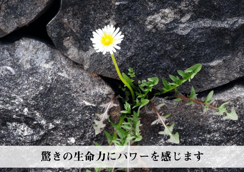 RIEの『幸せのたんぽぽ』の説明〜強い生命パワーを