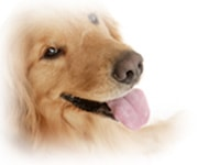 ハーネス>大型犬