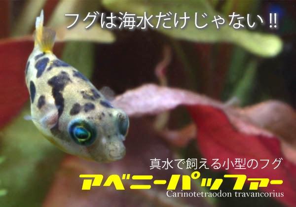 フグは海水だけじゃない!真水(淡水)で飼える小型のフグ「アベニーパッファー」