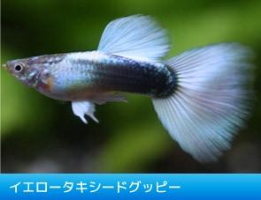 水中を彩る宝石『グッピー』/イエロータキシードグッピー