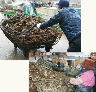 牡蠣の運搬、牡蠣の洗浄