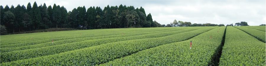 有機栽培茶