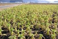 収穫直前の畑の状況(慣行農法)