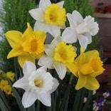 ラッパ咲き水仙 混合