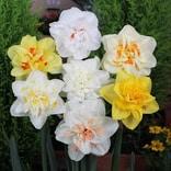 八重咲き水仙 混合