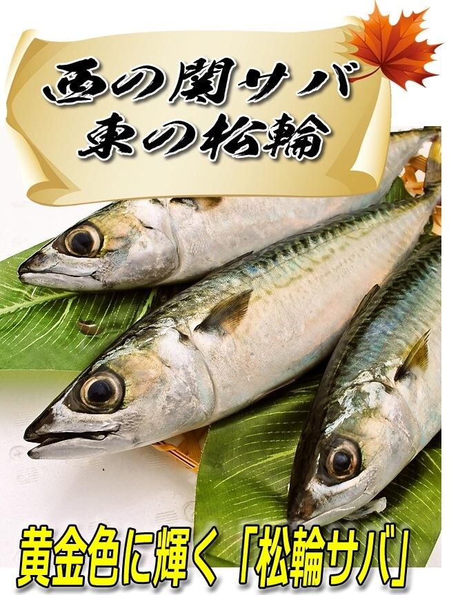 西の関サバ 東の松輪 黄金に輝く黄金の鯖