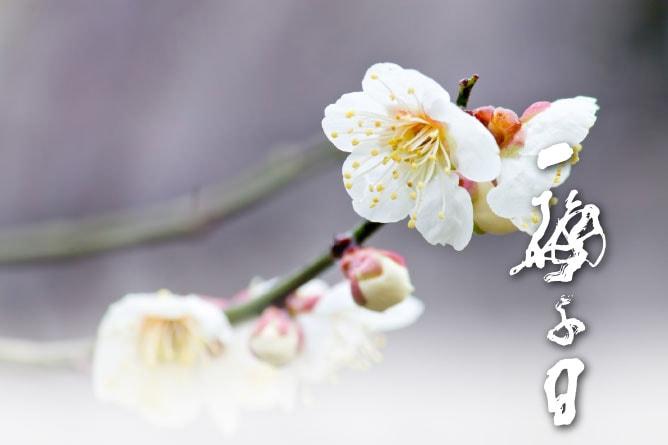 紀州南高梅の花