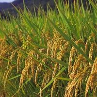 米どころ秋田の美味しい県産米