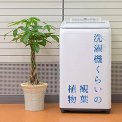 洗濯機くらいの観葉植物