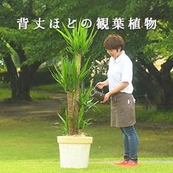 背丈ほどの観葉植物