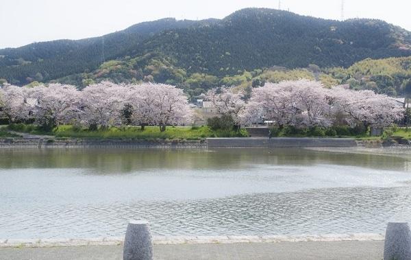 光市 | 島田川河川公園の桜