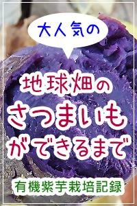 紫芋ができるまで