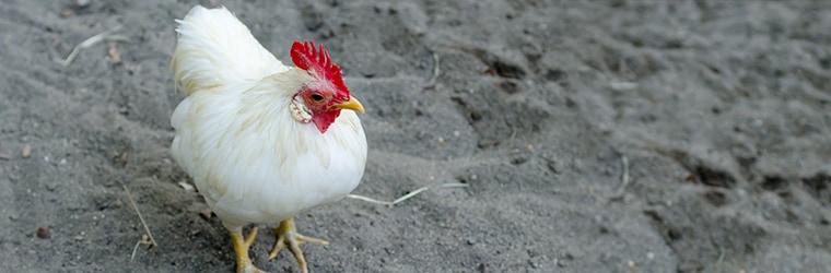 飼料と飼育方法にこだわった健康な銘柄鶏イメージ