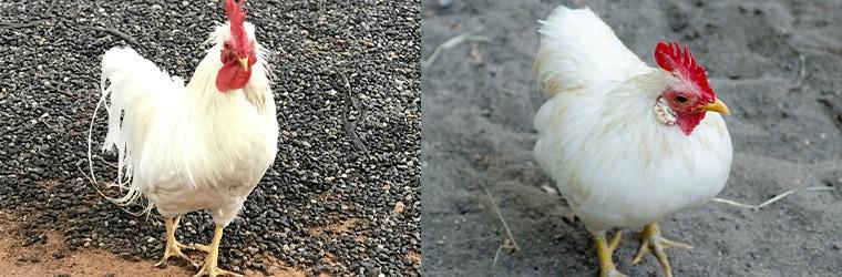 イギリス原産の白色コーニッシュと、アメリカ原産の白色プリマスロック