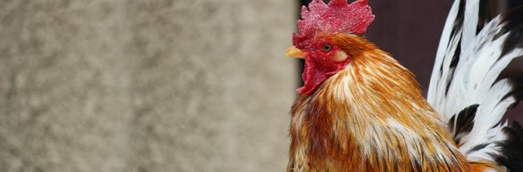 「ブロイラー」とは 短期間で出荷できる肉用の若鶏イメージ