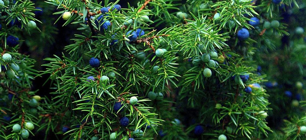 ジュニパー juniper