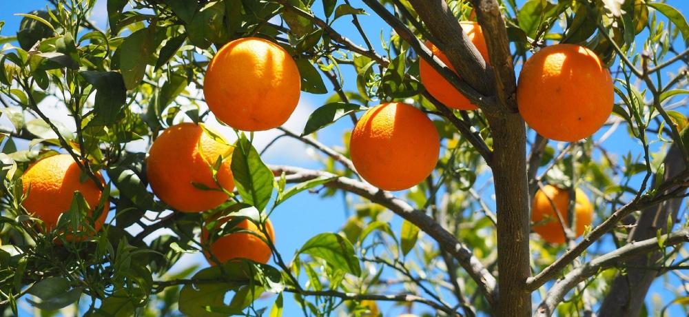 オレンジスイート Orange Sweet