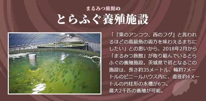 まるみつ旅館のとらふぐ養殖施設 「『東のアンコウ、西のフグ』と言われるほどの高級魚の両方を味わえるまちにしたい」との思いから、2018年2月から「まるみつ旅館」が取り組んでいるとらふぐの養殖施設。茨城県で初となるこの施設は、長さ約35メートル、幅約7メートルのビニールハウス内に、直径約4メートルの円柱形の水槽が6つ。最大2千匹の養殖が可能。