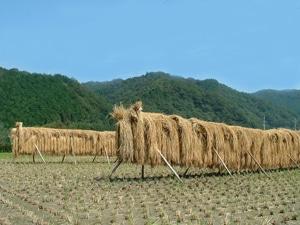 稲は天日干しで美味しくなります。