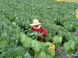ケールは寒い冬場に限定して栽培し、収穫します。座ると大人の背丈でも見えなくなるほどケールは大きく育ちます