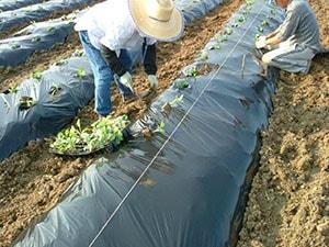 ケールの苗はひとつひとつ手で植えていきます。大きく育った時にぎゅうぎゅうにならないようにひとつひとつの距離もあけています。